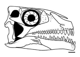 Azendohsaurus madagaskarensis skull diagram.png