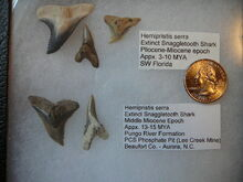 Hemipristis serra 2.jpg