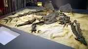 Hesperosaurus fossil 02.jpg