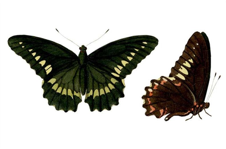 Battus polydamas antiquus