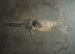 Passaloteuthis bisulcata