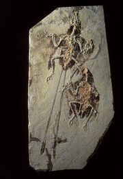 Confuciusornis fossil 01.jpg