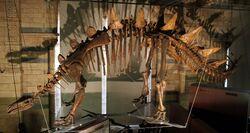 Natural History Museum Tuojiangosaurus