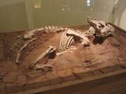 Auroraceratops fossil.jpg