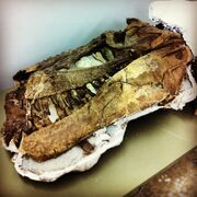 Daspletosaurus Skull 01.jpg