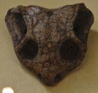 Кистецефал череп