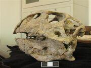 Psittacosaurus skull.jpg