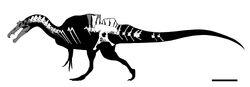 Ichthyovenator skeleton