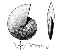 Тиманитес.jpg