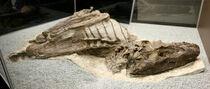 Gorgosaurus skelenon 01