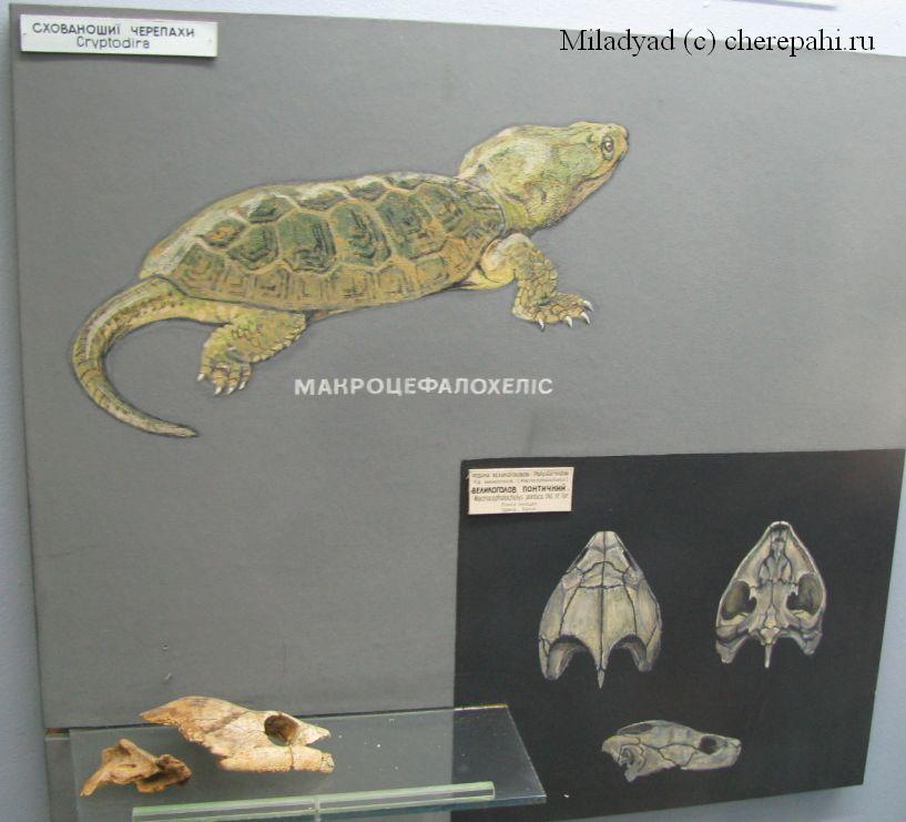 Макроцефалохелис