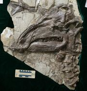 Jinzhousaurus skull fossil.jpg
