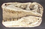 Tarbosaurus skull 01.jpg