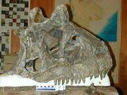 Carnotaurus skull.jpg