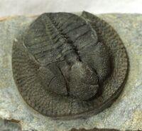 Declivolithus cf. alfredi 2
