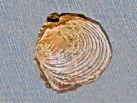 Inoceramus proximus