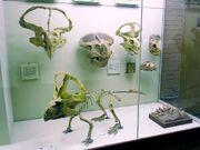 Protoceratops fossil 02.jpg