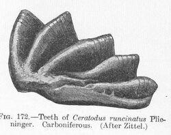 Ceratodus runcinatus Plieninger.jpeg
