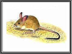 Дарлингдаунская мышь