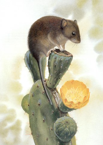 Галапагосская мышь Дарвина