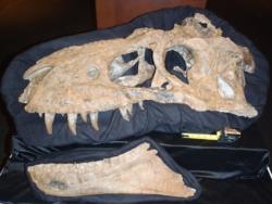 Bistahieversor skull 04