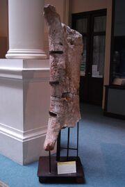 Museo de La Plata - Argentinosaurus (fémur).jpg