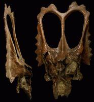 Agujaceratops-3 352e.jpg