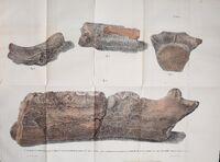 Базилозавр кости
