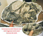 Camarasaurus skull with turtle fossil fragments in the teeth. Peter Larson, Black Hills Institute of Geological Research.jpg