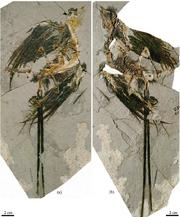 Eoconfuciusornis zhengi.png