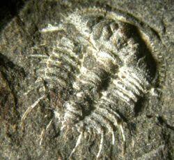 Odontopleura ovata 2.jpg