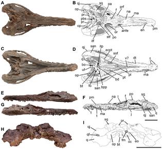 Pseudochampsa skull.png