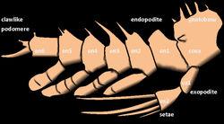 Agnostus pisiformis конечность