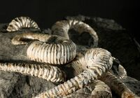 Аммониты рода Acrioceras из музея естественной истории, Бокстел, Нидерланды