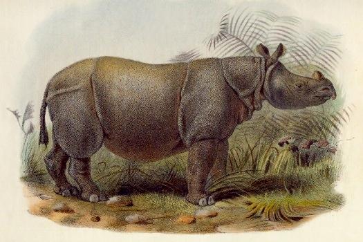 Индийский яванский носорог