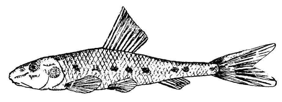 Пескарь антипаи