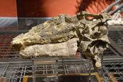 Tenontosaurus skull 03.jpg