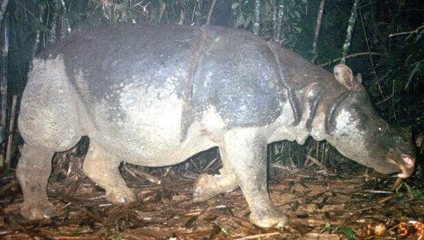 Вьетнамский яванский носорог