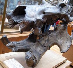 Гигантский бегемот череп 1