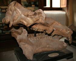 Гигантский бегемот череп 2