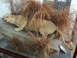 Занзибарский леопард