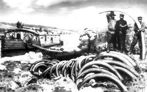 1900 jakutfold mamut agyarak kereskedelme .jpg