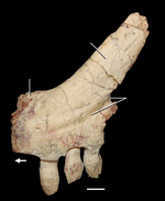 150px-Azendohsaurus madagaskarensis premaxilla.png
