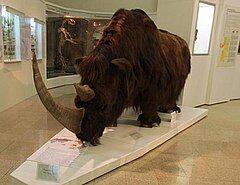 240px-Шерстистый носорог Челябинск