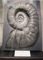 Auckland War Memorial Museum, Giant ammonite 2016-01-21