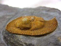 Nankinolithus 4