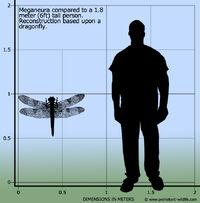 Меганевра размеры