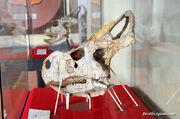 Protoceratops skull 02.jpg