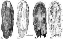 Raranimus skull.jpg