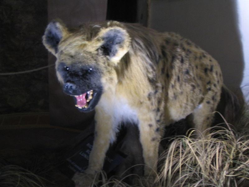 Пещерная гиена